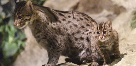 Fishing Cat in Fragile Rain Forest