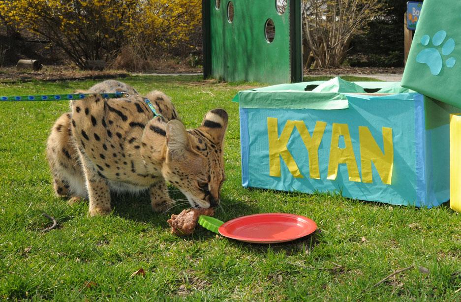 Kyan Serval