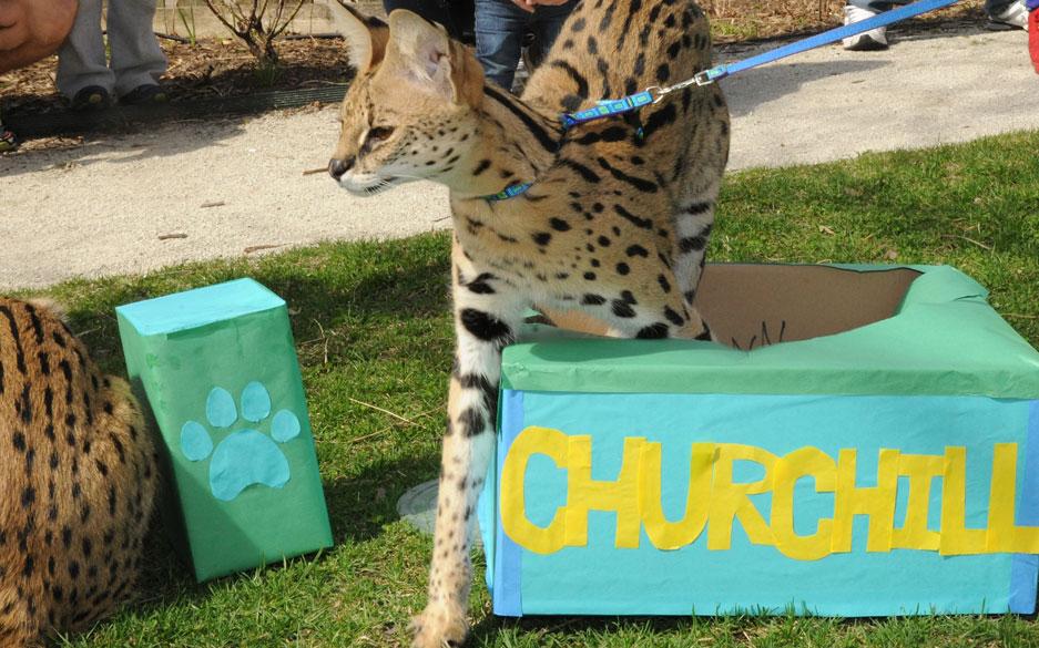 Churchill Serval