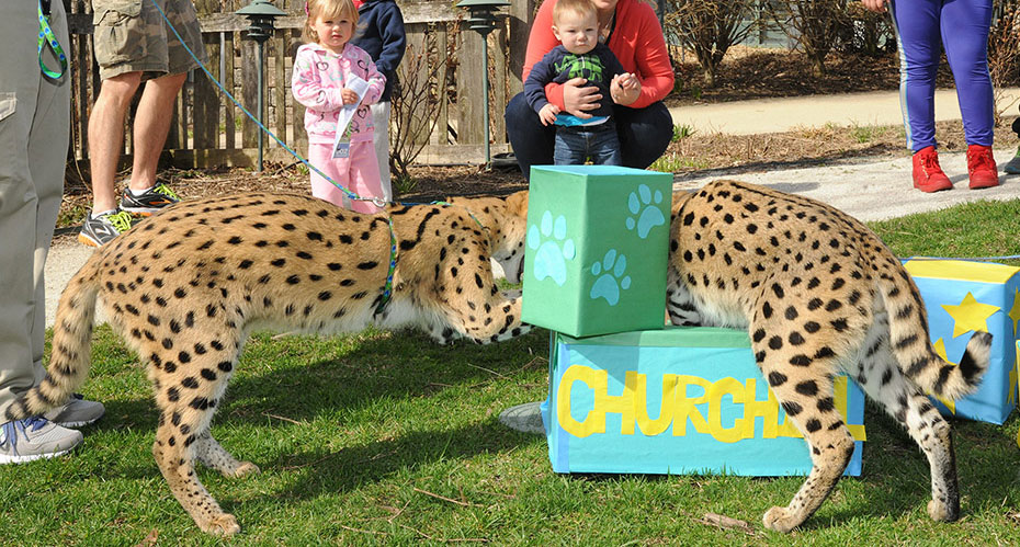 serval cats at Brookfield Zoo