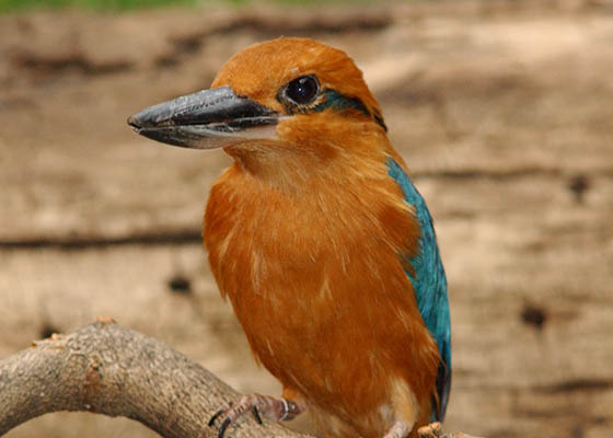 Micronesia Kingfisher