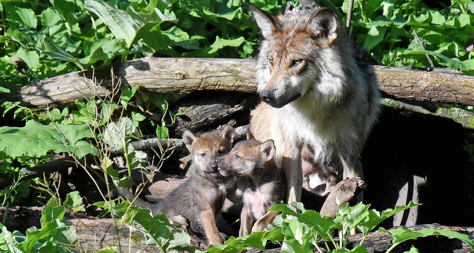 Chicago Zoological Society Mexican Gray Wolves Born At
