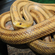 Yellow-Rat-Snake_185x185.jpg