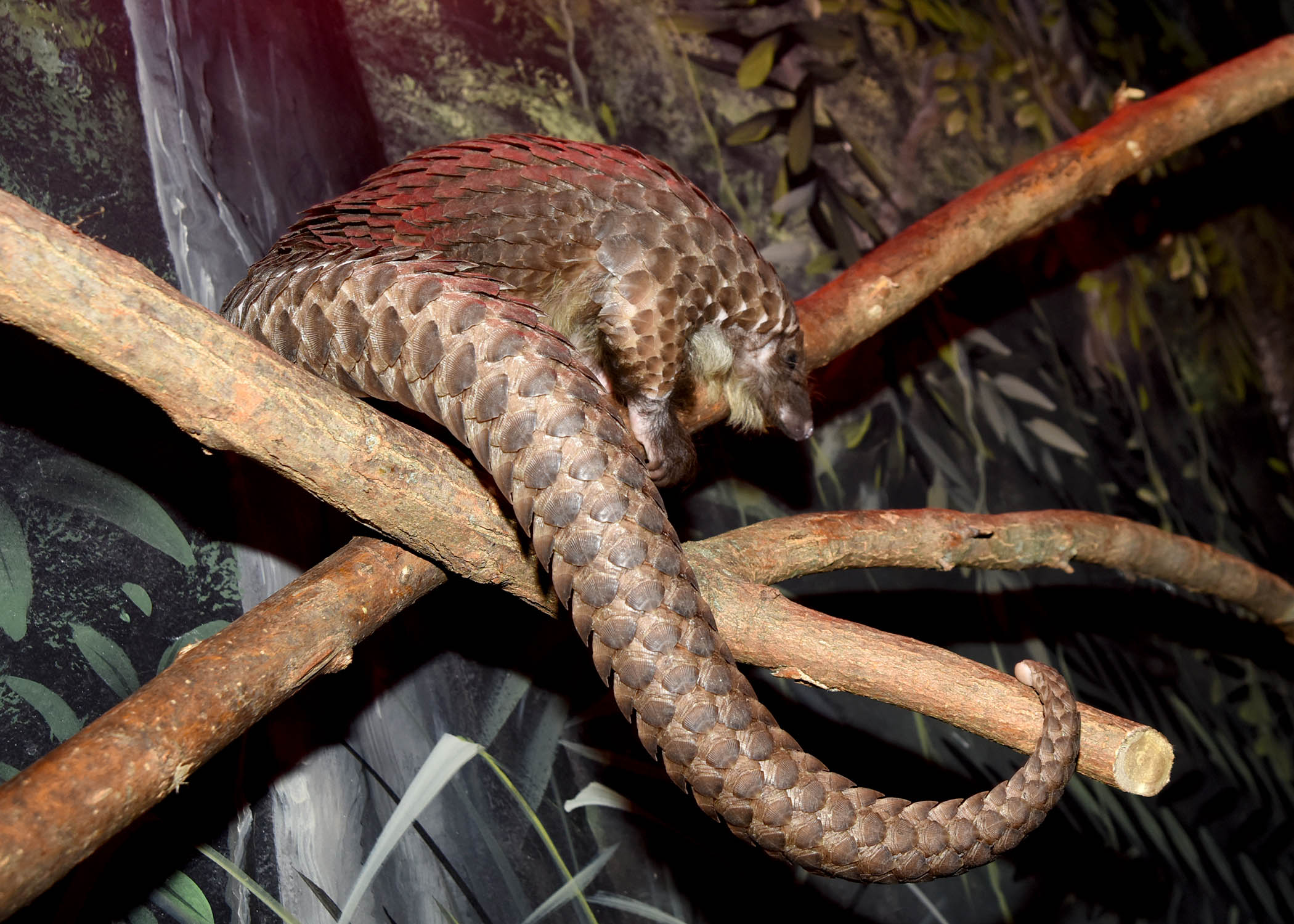 https://www.czs.org/Chicago-Zoological-Society/About/Press-room/2017-Press-Releases/Chicago-Zoological-Society-Leading-Conservation-Ef/DSC_8343-Pangolin.aspx