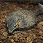 Screaming-Hairy-Armadillo_1.jpg