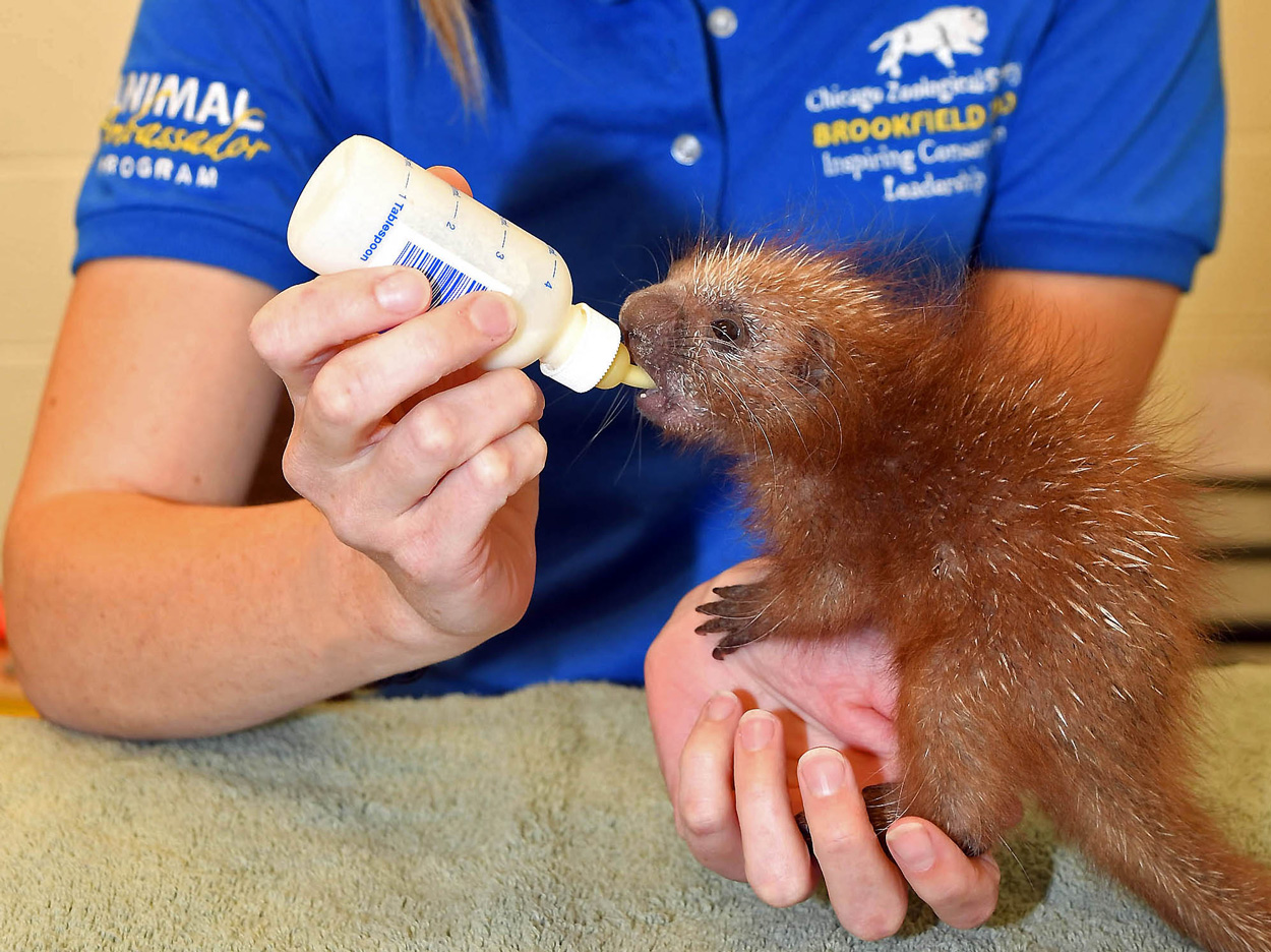 Porcupette born at Brookfield Zoo