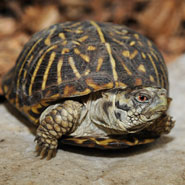 Ornate-Box-Turtles_185x185.jpg