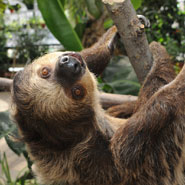 Linnaeus-s-two-toed-Sloth_1.jpg