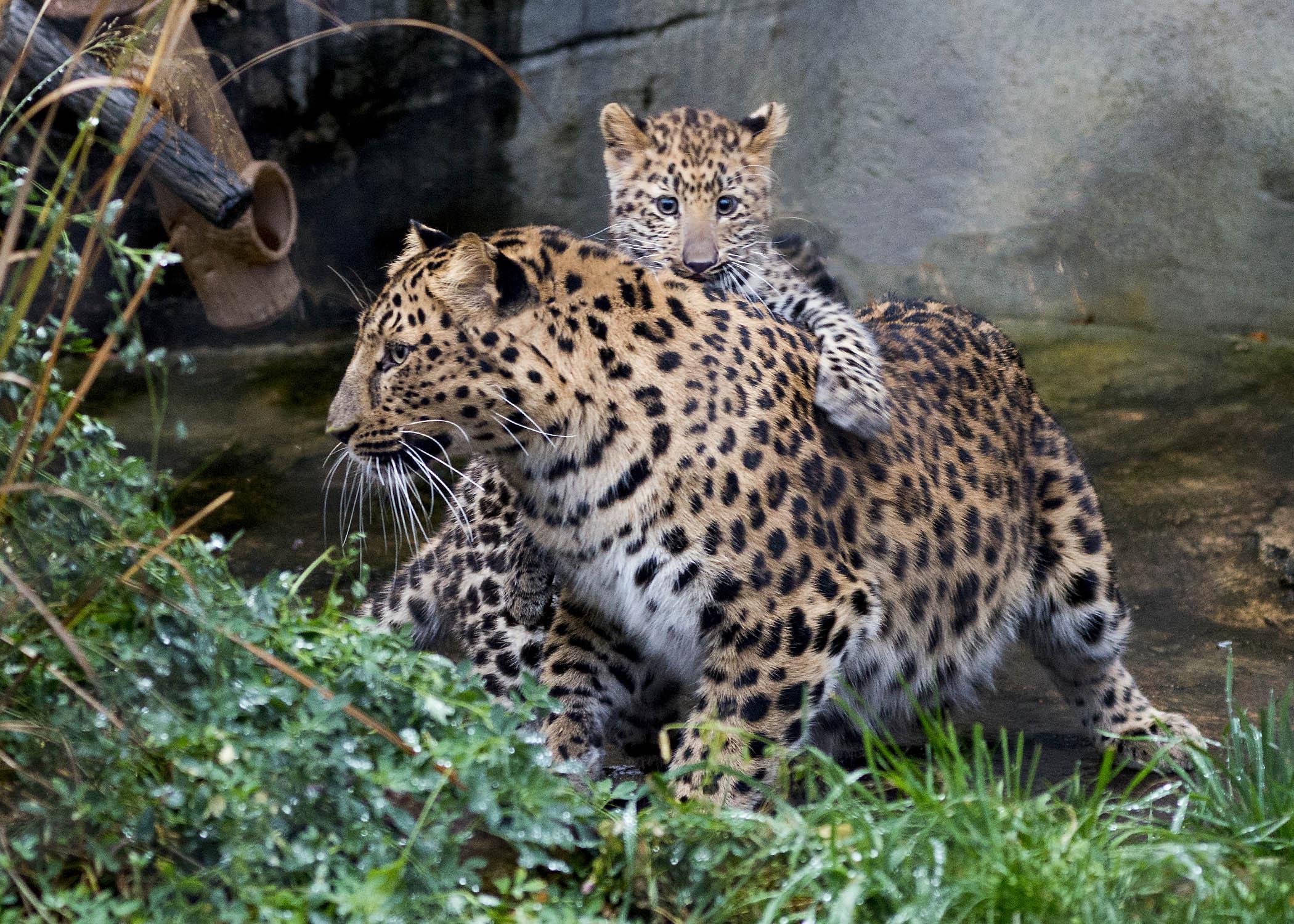 Hewan Langka di Dunia amur leopard