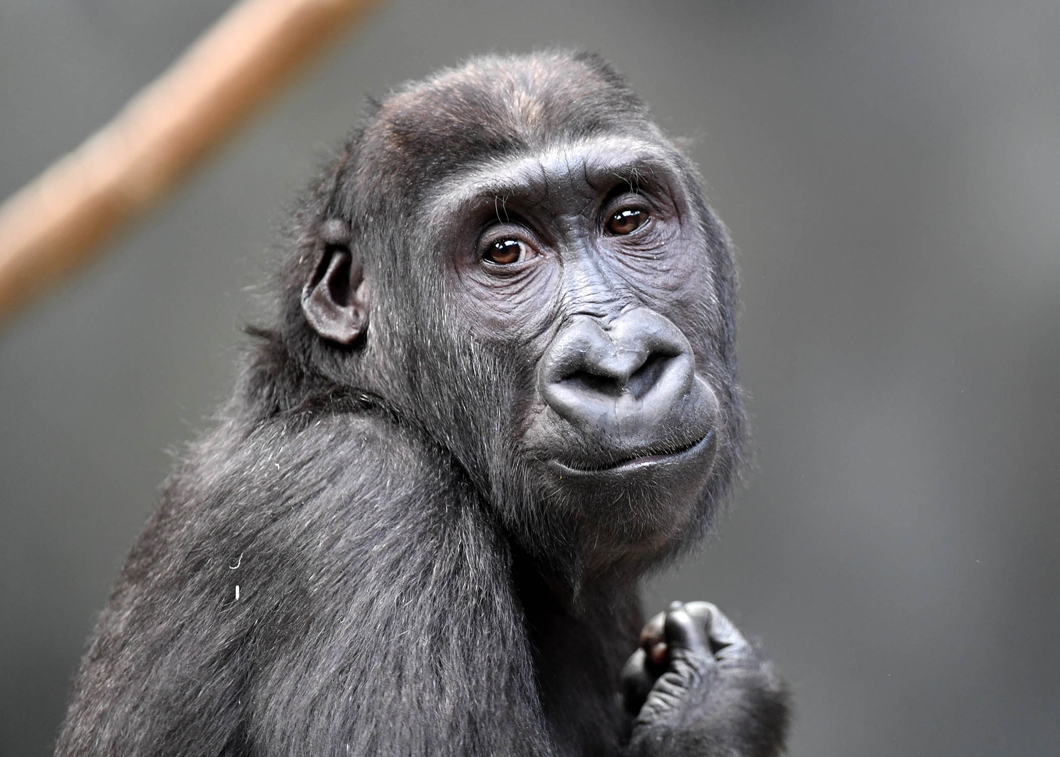 Chicago Zoological Society - Brookfield Zoo's Ape Awareness