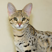 Savannah-Cat_185x185.jpg