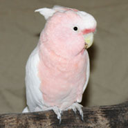 Major-Mitchell-s-Cockatoo_1.jpg