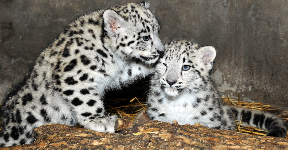 Snow leopard cubs born at Brookfield Zoo in 2015