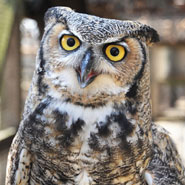Great-Horned-Owl_185x185.jpg