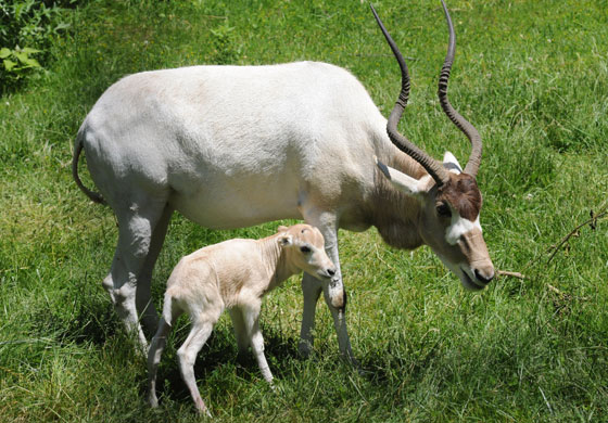 Chicago Zoological Society Addax