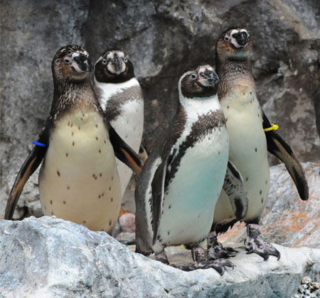 Chicago Zoological Society Humboldt Penguin