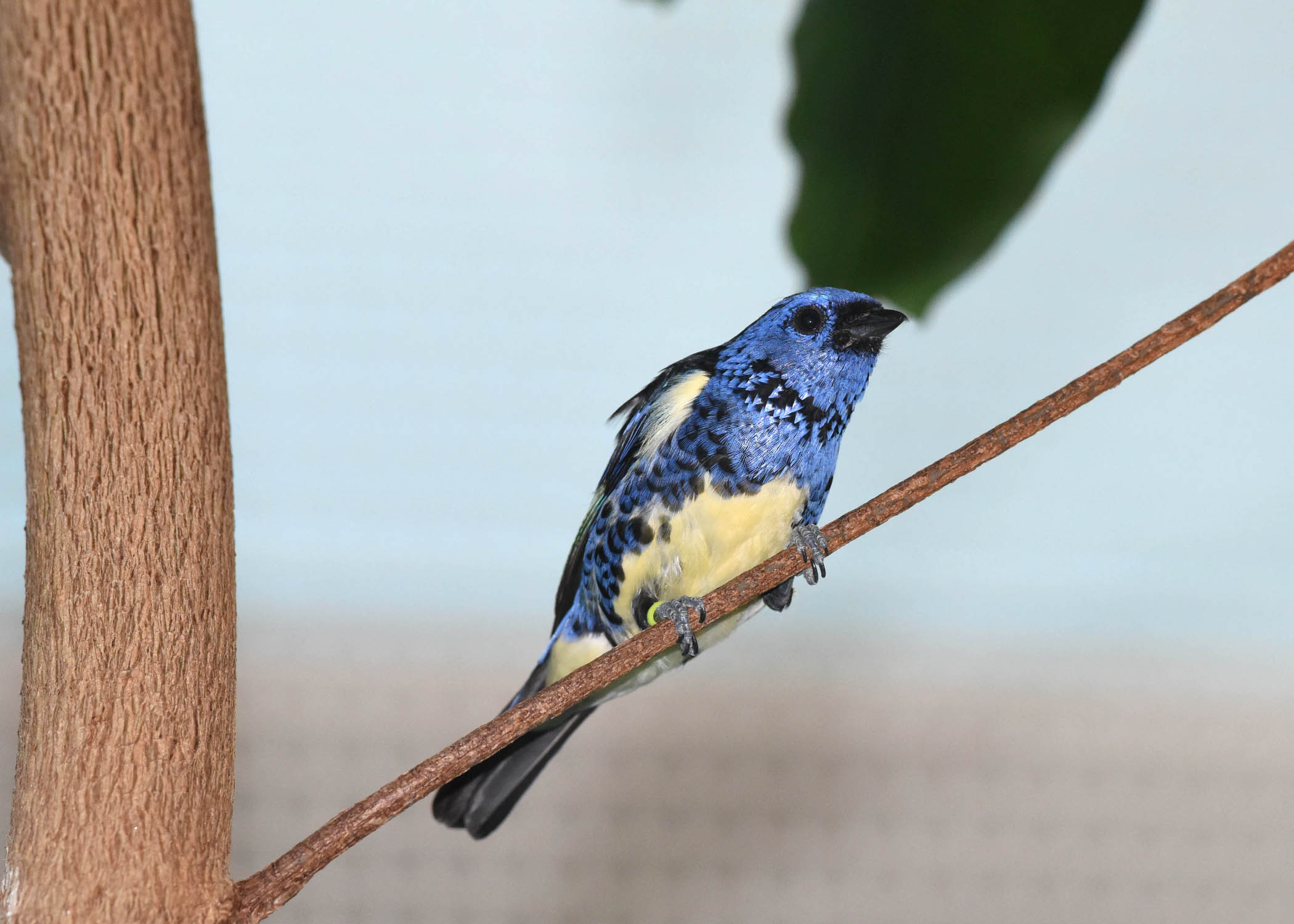 Turquoise-tanager-1-(1).JPG