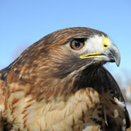 Red-Tailed-Hawk_185x185.jpg