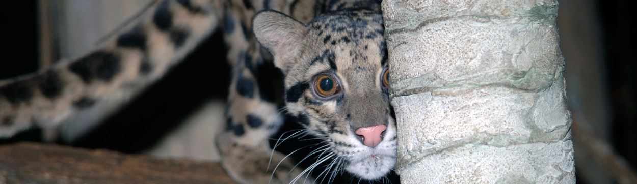 Clouded Leopard at Brookfield Zoo