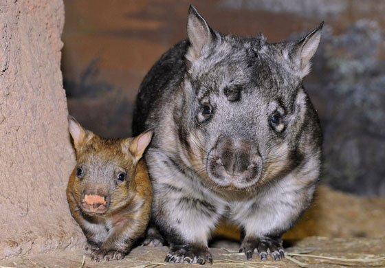 Southern hairy nosed wombats