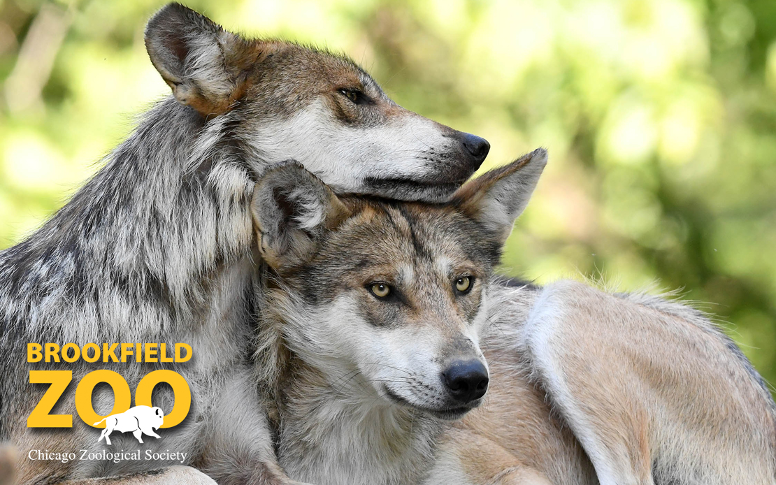 Mexican Gray Wolves at Brookfield Zoo