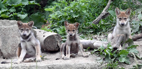 Wolf Pups Naming Contest