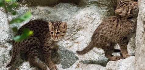 Fishing Cats Born at Brookfield Zoo