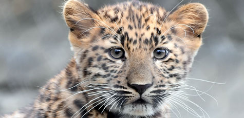 Amur Leopard Cub born at Brookfield Zoo