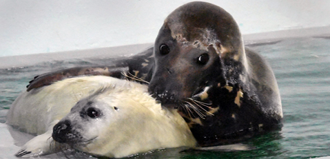 Gray seal pup with mom at Brookfield Zoo