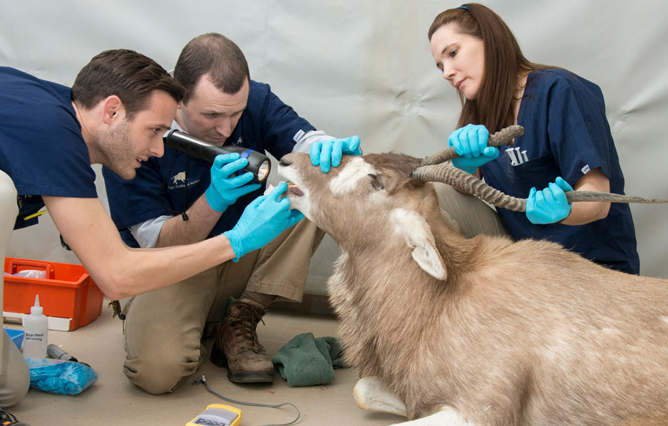 Addax check up by CZS Veterinary team