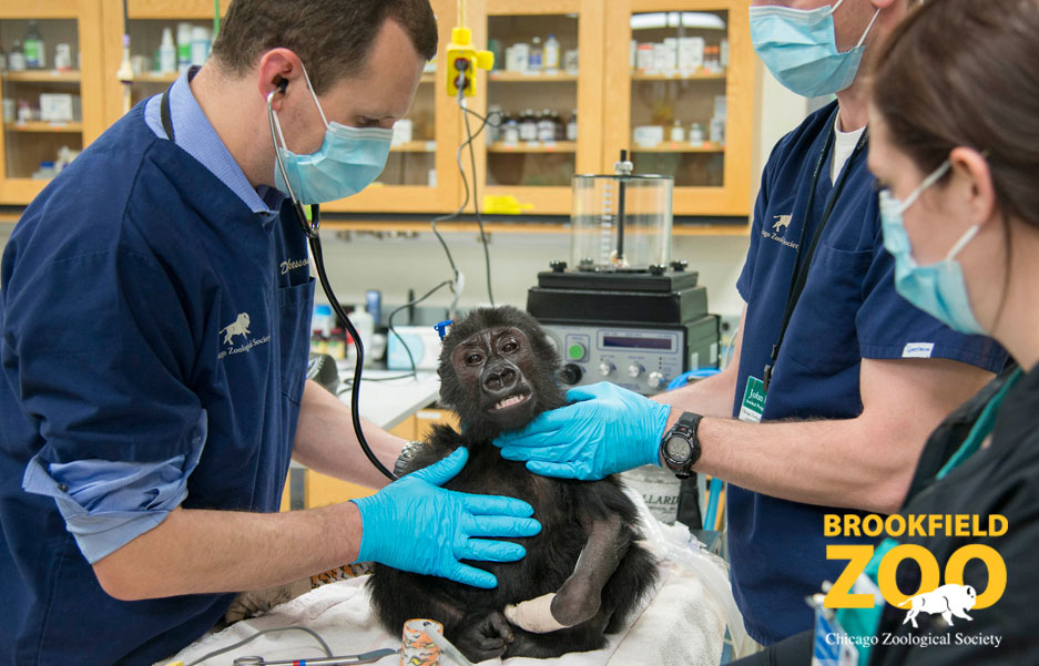 Brookfield Zoo Animal Hospital with Nora Gorilla and Dr. Mike Adkesson
