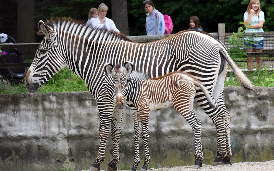 Grevy's Zebra Born July 9 at Brookfield Zoo