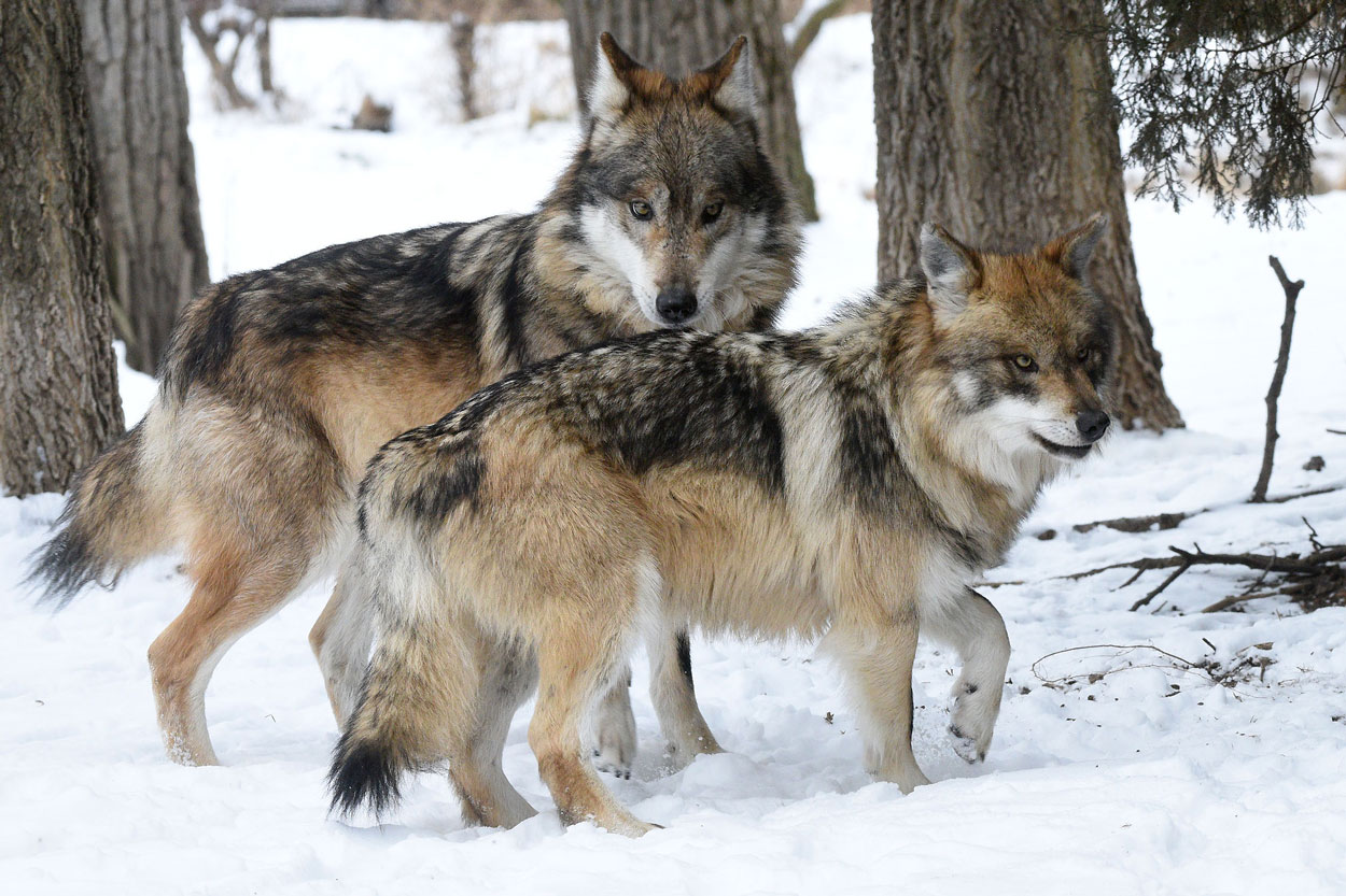 Mexican wolves at Brookfield Zoo