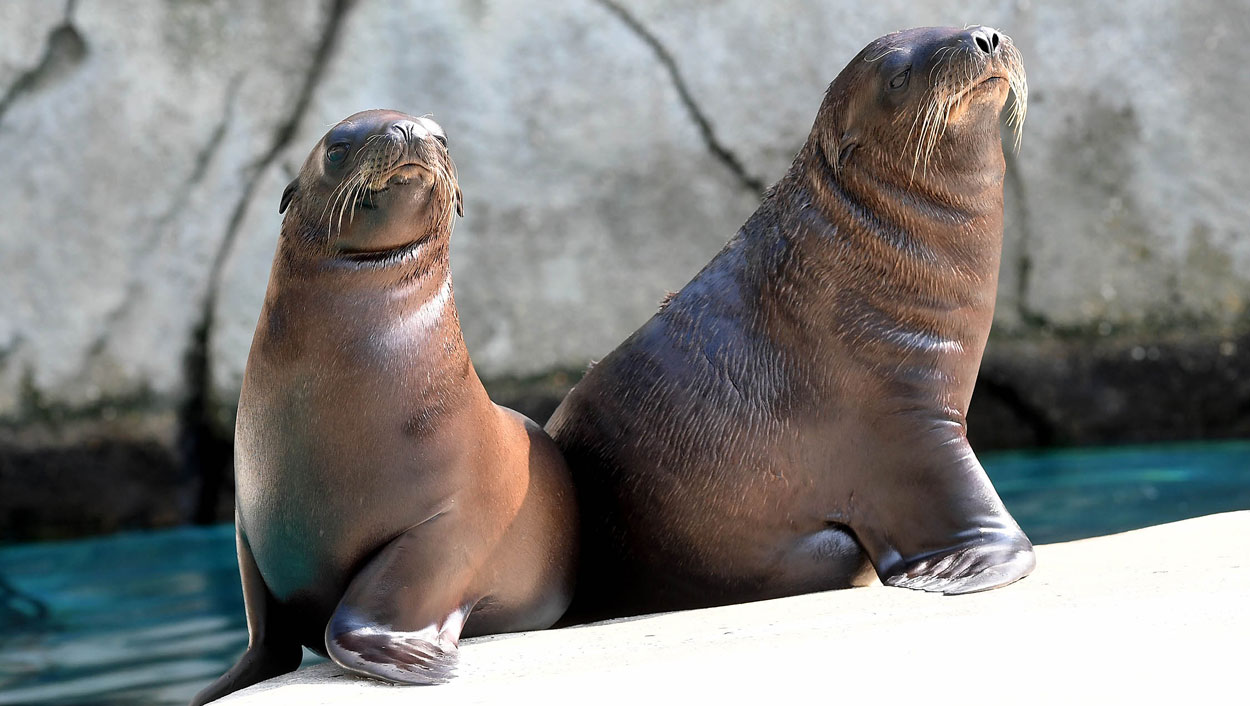 Sea Lion pups at Brookfield Zoo