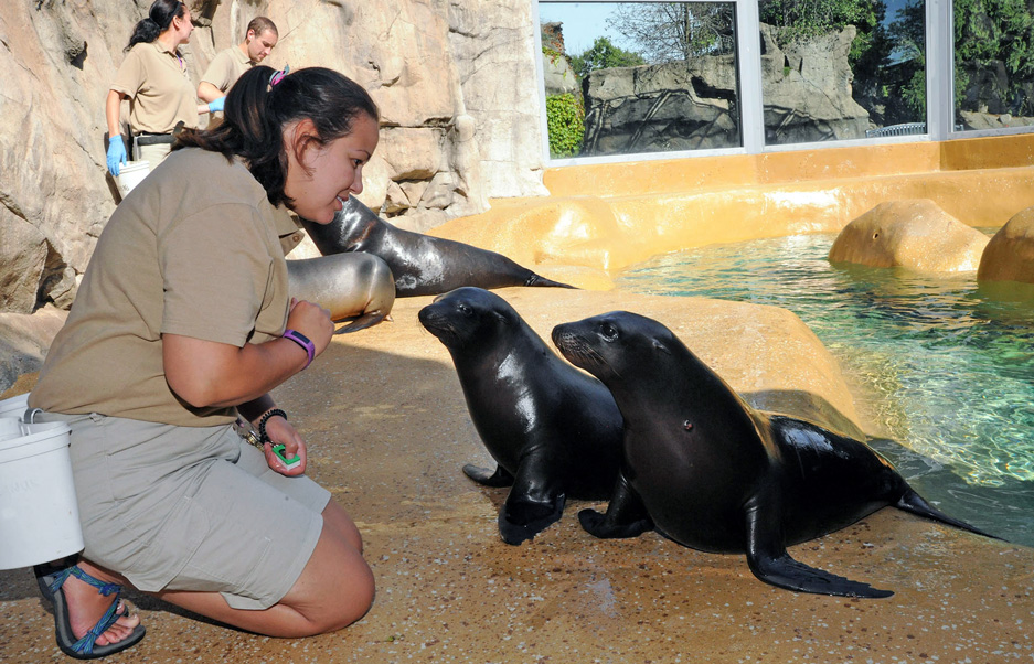 Rescued California Sea Lions at Brookfield Zoo