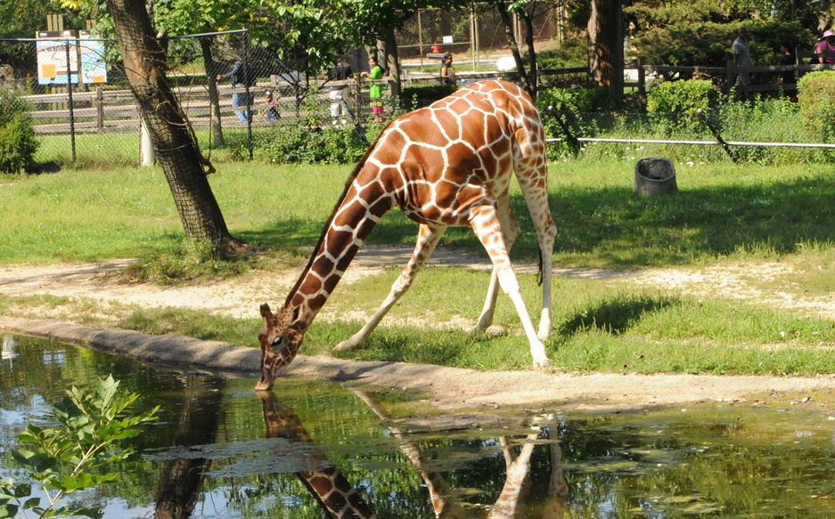 Giraffe at Brookfield Zoo watering hole