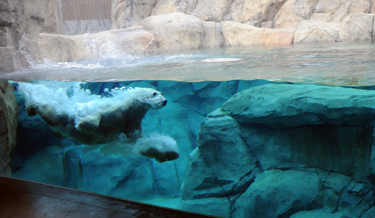 Hudson Polar Bear swimming at Brookfield Zoo