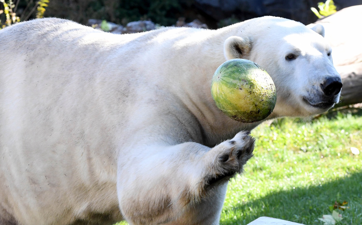 Hudson Polar Bear with watermelon at Brookfield Zoo