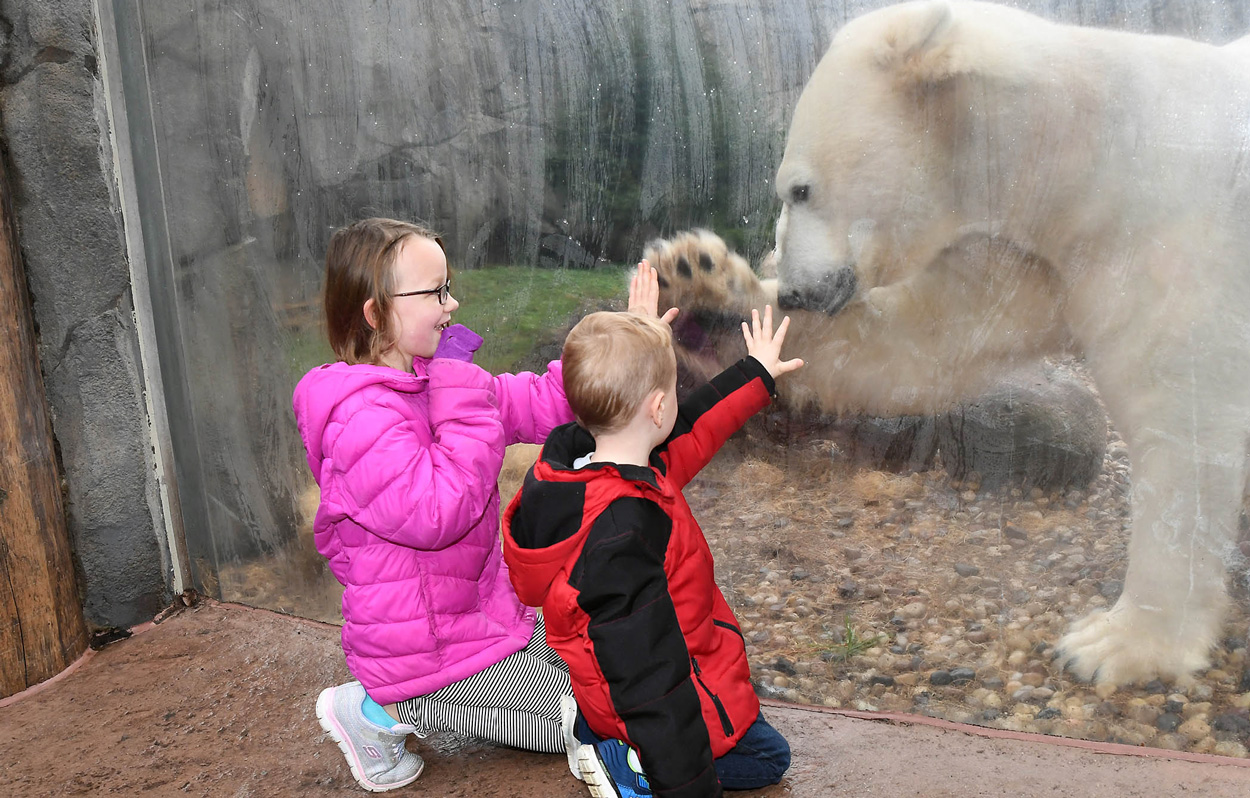 Hudson Polar Bear at Brookfield Zoo