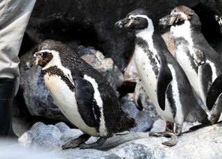 Penguin molting at Brookfield Zoo