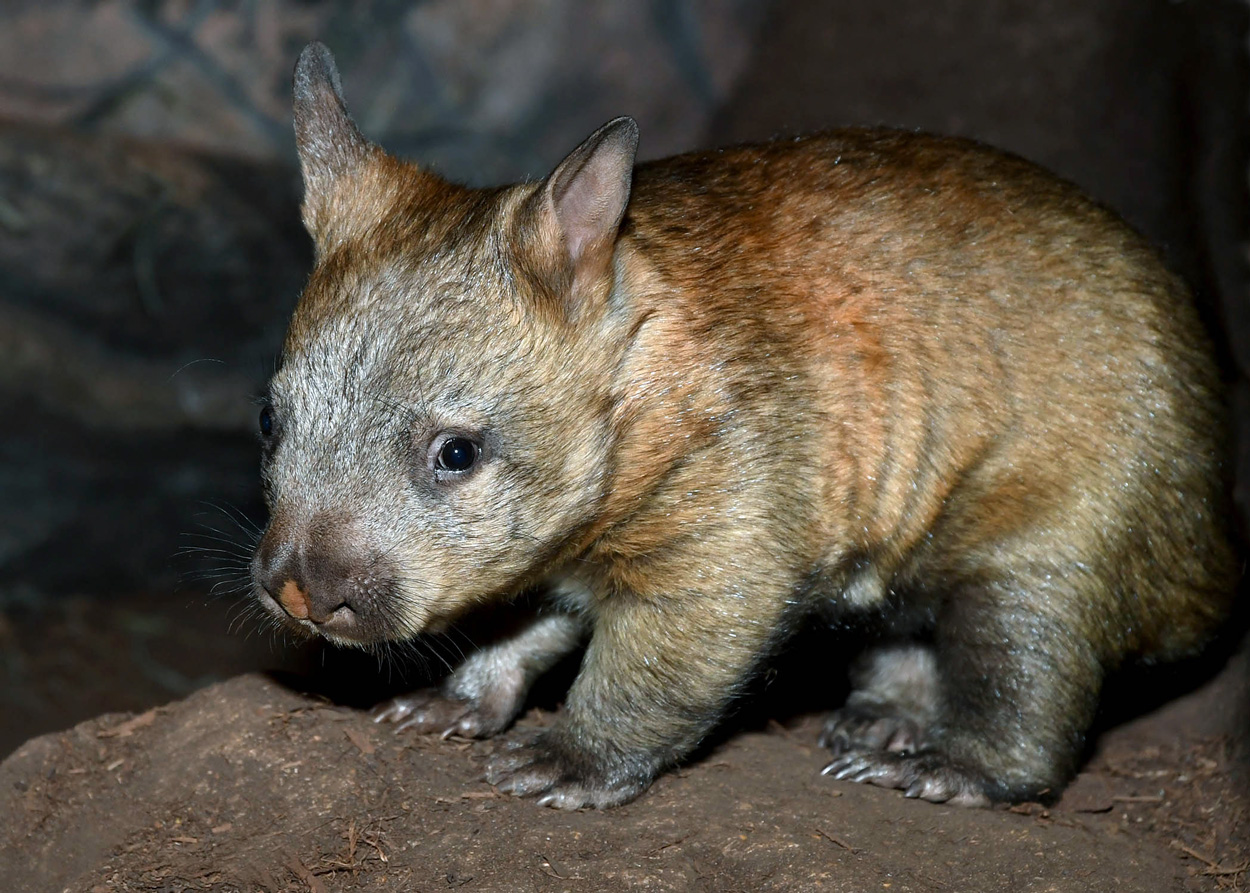 wombat joey at Brookfield Zoo