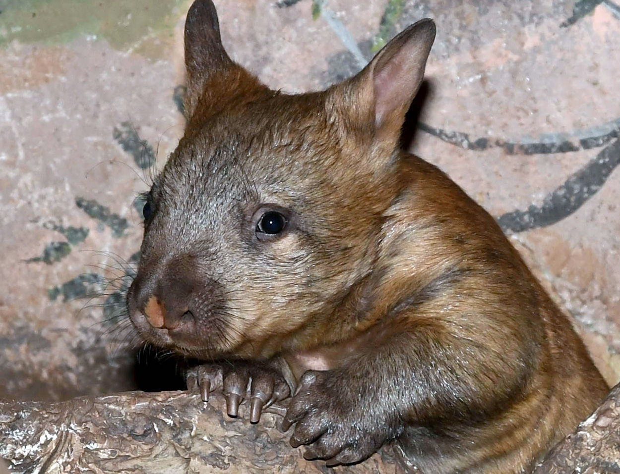 There are only nine southern hairy-nosed wombats in five North American institutions, including at Brookfield Zoo. Now, guests can venture over to the zoo's Australia House to see the latest addition. A wombat joey (a marsupial baby), born on February 4, 2017, is out and about exploring her surroundings along with her mom, 17-year-old Kambora.