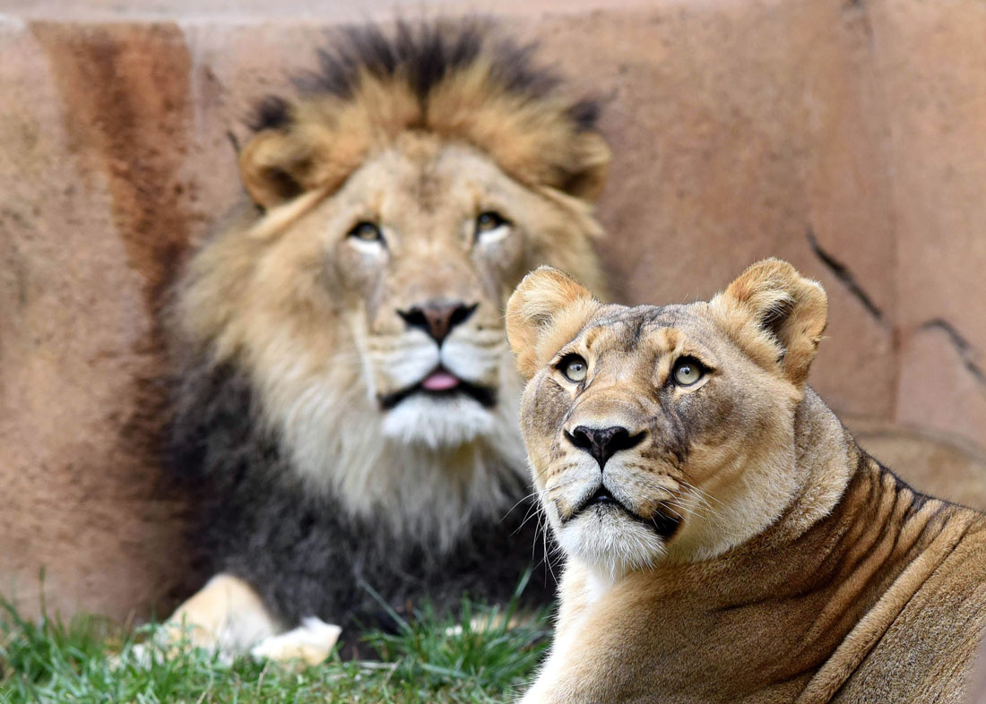 Zenda and Isis lions at Brookfield Zoo
