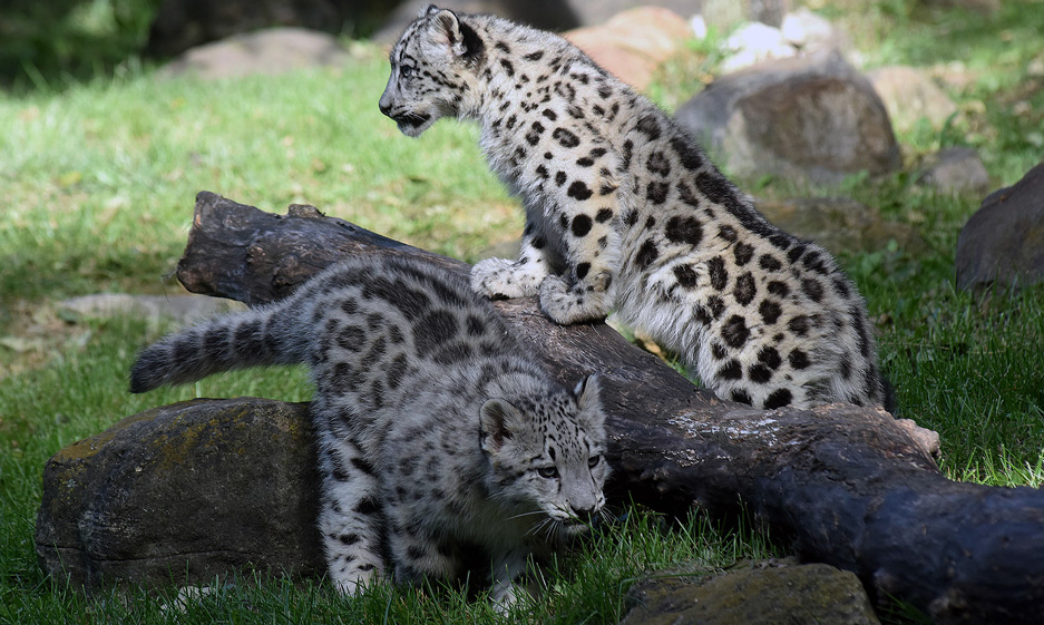 snow leopard cubs make debut at Brookfield Zoo 2015