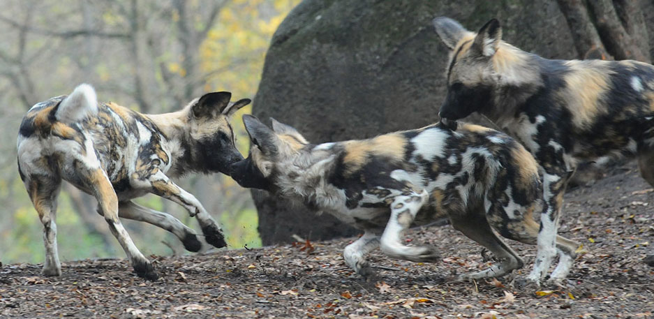 African Painted Dogs playing