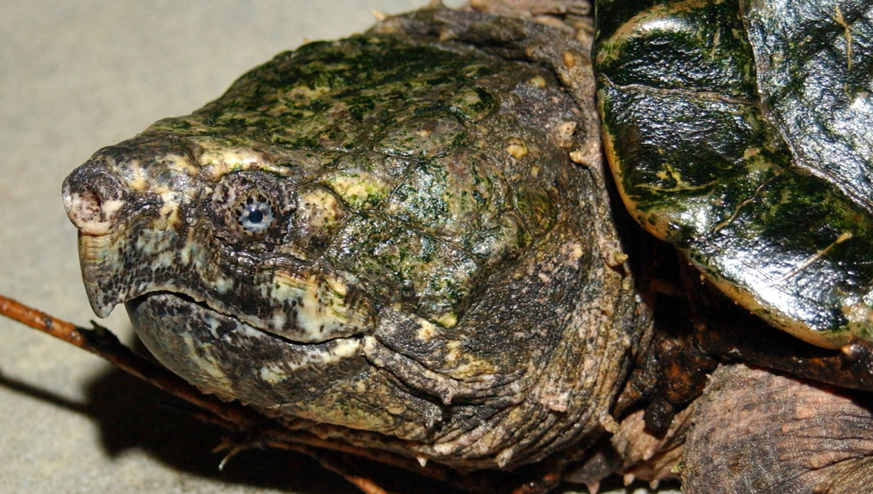 alligator snapping turtle at Brookfield Zoo