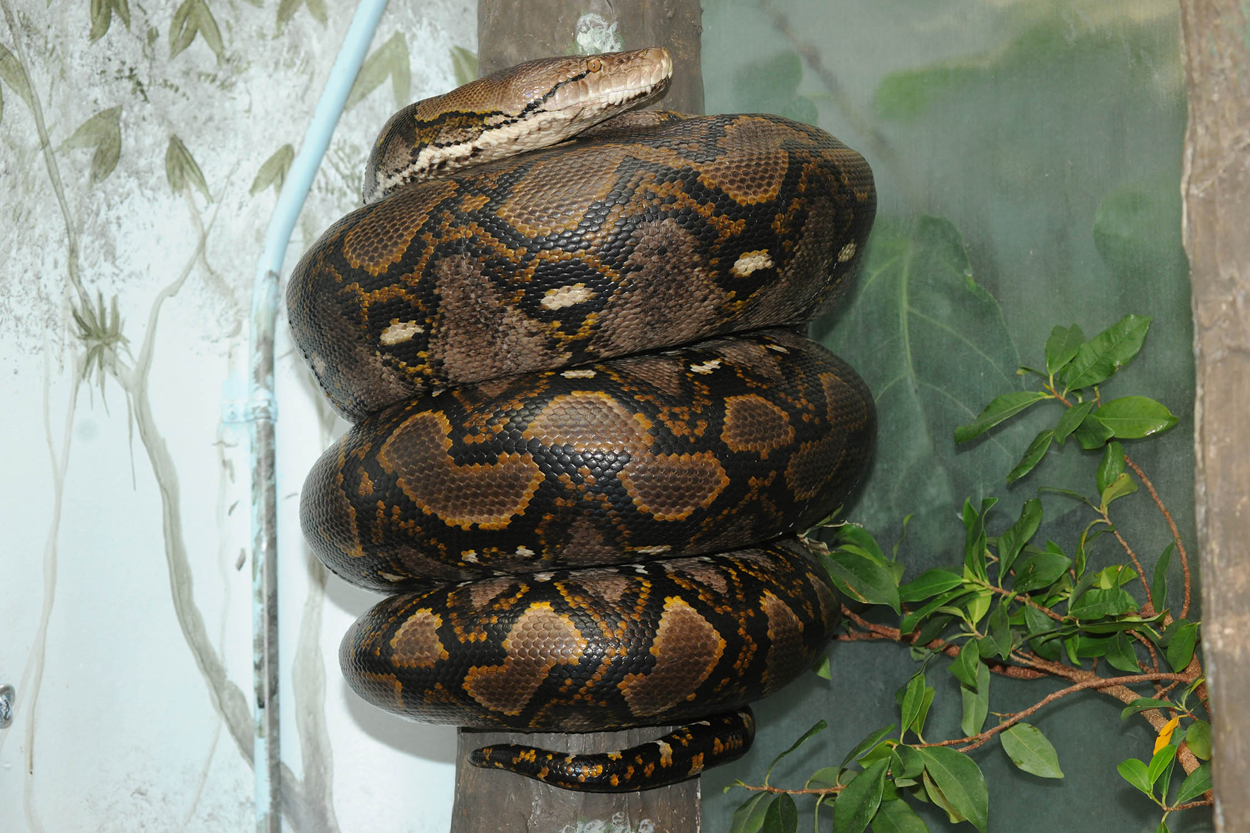 reticulated python at Brookfield Zoo