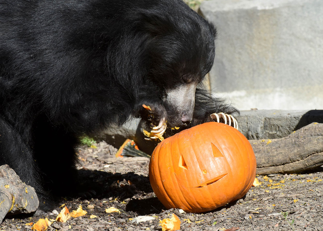Pumpkins to the Animals