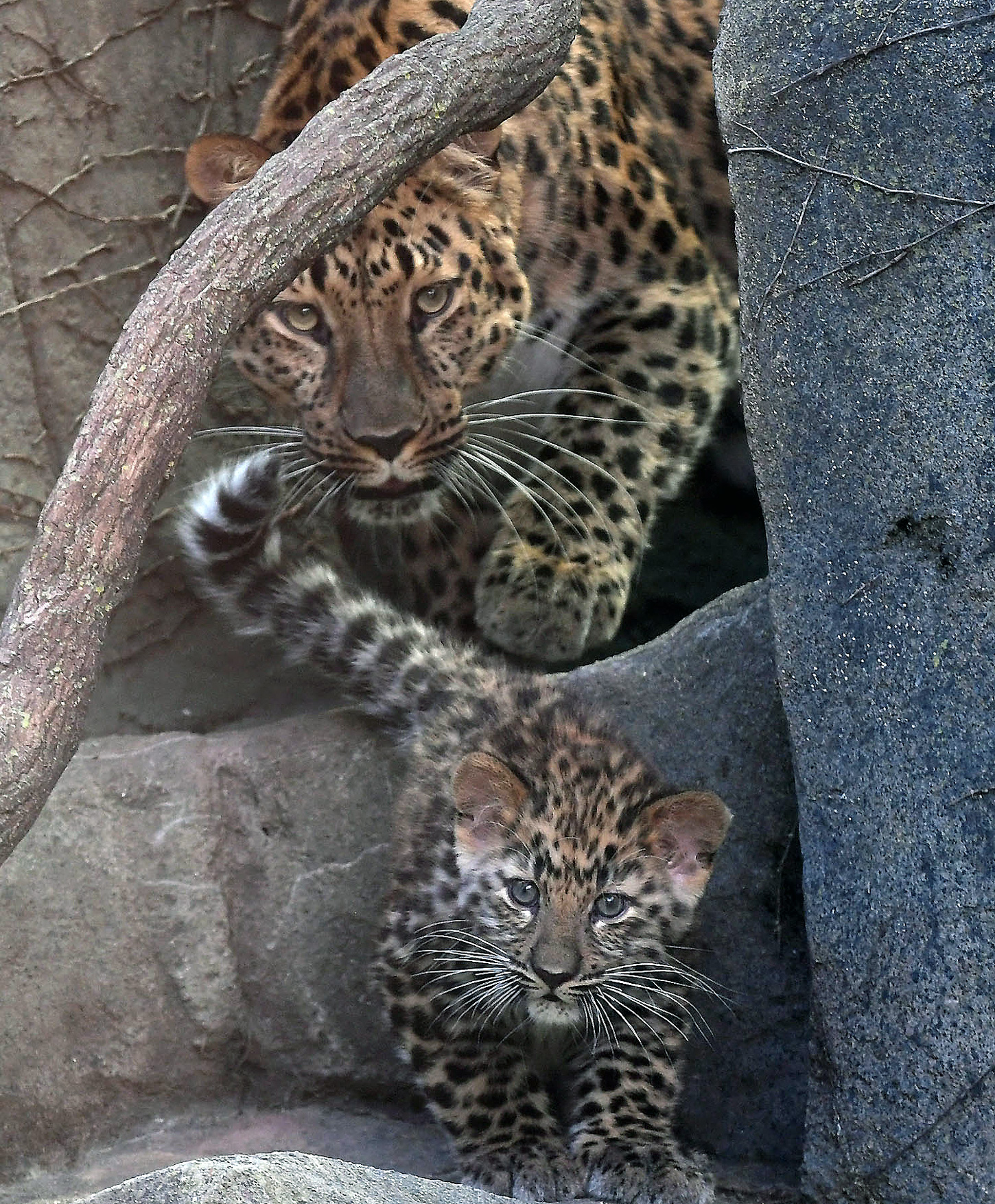 Amur Leopard Cubs at Brookfield Zoo
