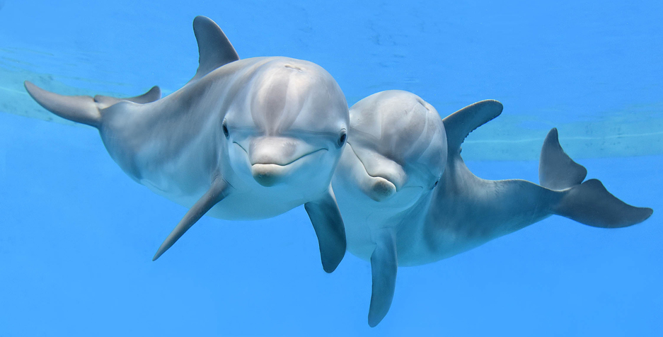 Maxine and Merlin, young bottlenose dolphins at Brookfield Zoo
